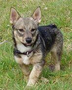 Swedish Vallhund Puppies Pictures 01