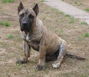 Beautiful-perro-de-presa-canario-dog-photo