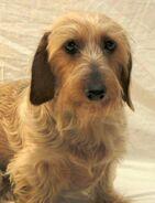 Sadie dachshund 02.jpg w450
