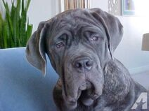 Akc-neapolitan-mastiff-blue-brindle-male-puppy-6-month-old-gray-neo-americanlisted 41940249