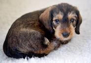 Mungo-the-wire-haired-dachshund 76258 2016-01-29 w450