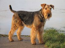 Funny Airedale Terrier Dog