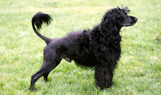 Portuguese-water-dog-3-645mk070411