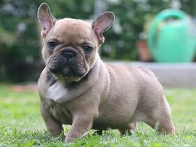 French-bulldog2