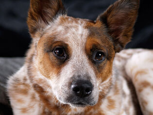Animals Dogs Australian Cattle Dog close-up 048068