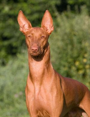 Pharaoh-Hound-4