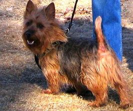 Australian Terrier adult male