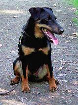 Jagdterrier-Wikipedia