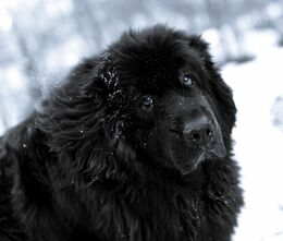 Newfoundland-dog-in-the-snow-photo