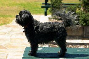 AFFENPINSCHER-DOG-944V8546-1024x681