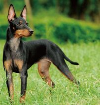 2 toy manchester terrier