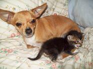 Chihuahua-and-kitten-chihuahuas-13516911-1600-1200