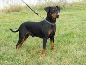 German-pinscher3