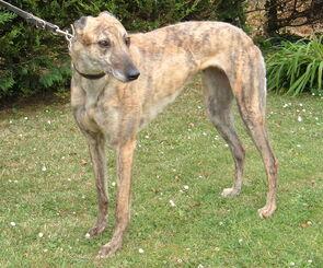 Beautiful-greyhound-dog-photo