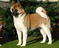 Akita-dog
