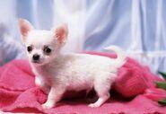 Chihuahuas-puppy