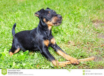 Jagdterrier-terrier-puppy-grass-garden-43737229