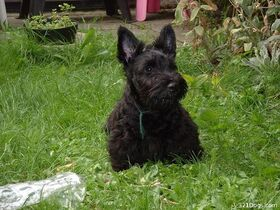 Scottish-terriers-2