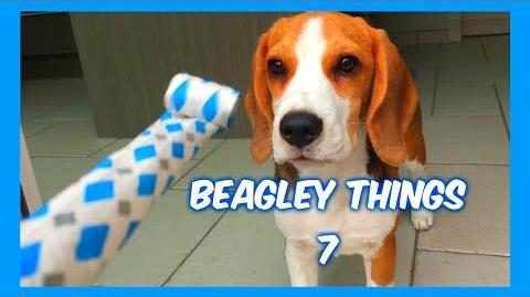 "Funny ""Beagley"" Things! Why You Should Get A Beagle Dog. Episode 6"