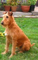 Irish terrier sitting