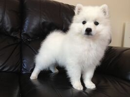 Japanese-spitz-male-puppy-for-sale-52036cf3bc72a