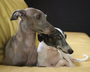 Italian-Greyhound-dogs-13073855-1280-1024