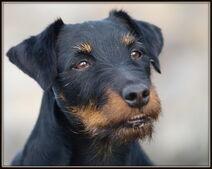 Jagdterrier-dog-face-photo