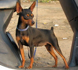 Miniature-pinscher 8