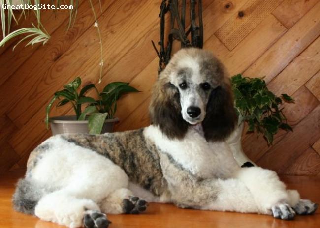 Poodle | AKCMisfits Wiki | FANDOM powered by Wikia