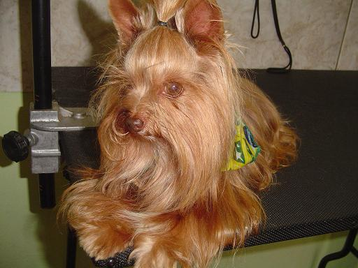 Yorkshire Terrier Akcmisfits Wiki Fandom Powered By Wikia
