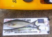 Daveyak-Salmon-snook-measured-XL