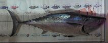 Macktuna-carnster-90
