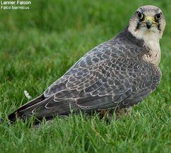 Falcons | Albiön Chronicles Wiki | FANDOM powered by Wikia