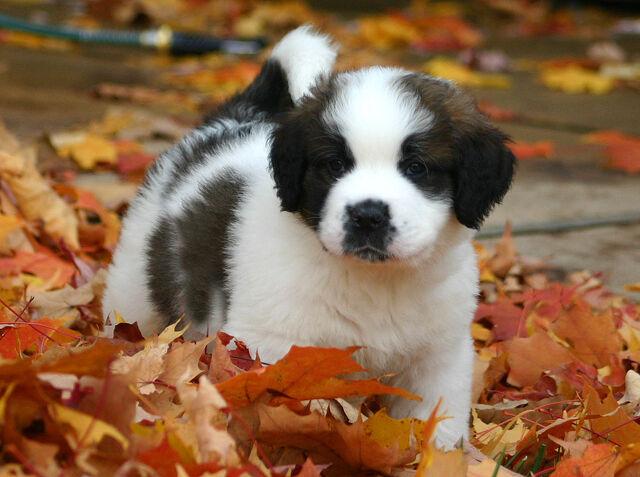 File:St. Bernard puppy.jpg