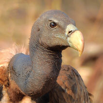 Indian vulture (Gyps indicus) Close-up by Shantanu Kuveskar