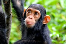 High-angle-view-of-chimpanzee-in-forest-769784687-5b1e76d63de4230037ce6f9d