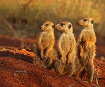 Meerkat (Suricata suricatta) Tswalu
