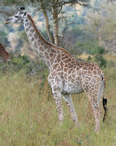 Giraffe Mikumi National Park