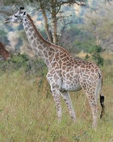 Giraffe Mikumi National Park