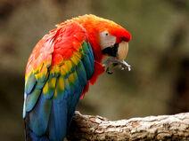 Ara macao -Fort Worth Zoo-8
