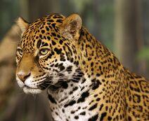 Jaguar head shot-edit2