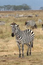 Plains Zebra Equus quagga