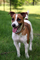 Jack Russell Terrier 1