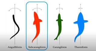Subcarangiform