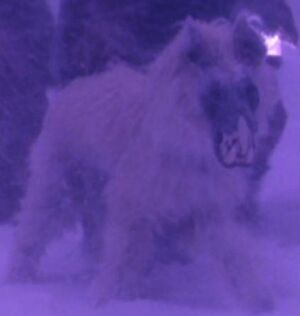 Jackal Mastiff