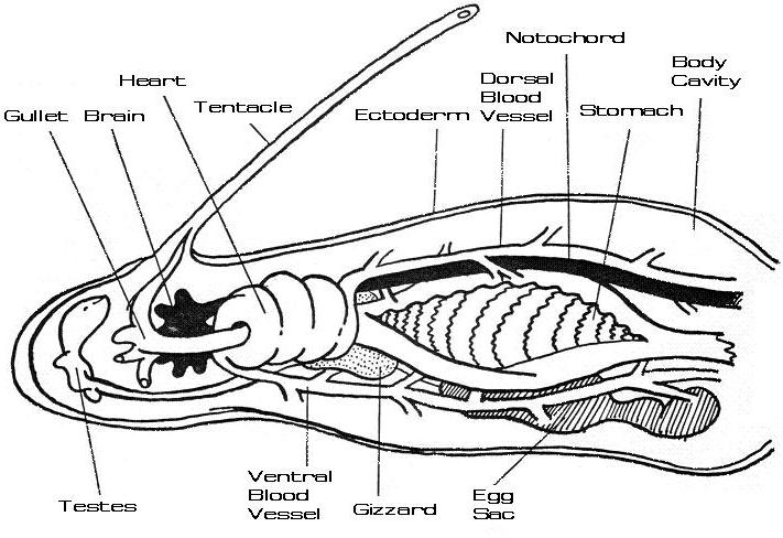 Blood Worm Anatomy Diagram - Block And Schematic Diagrams •
