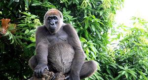 Gorilla gorilla diehli