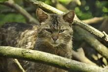 European wildcats 10 by windfuchs-d6j3ds4