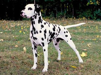 File:Dalmatian-1-.jpg