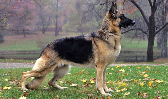 File:German sheperd.jpg